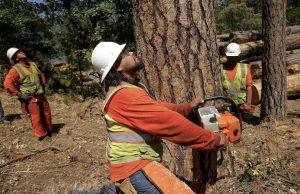 california-dead-trees