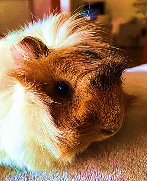 Leo guinea pig