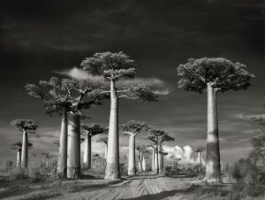 Avenue-of-the-Baobabs-LGneg-2015