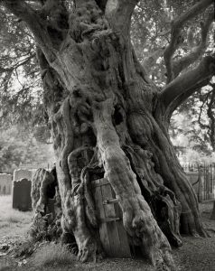 Crowhurst-Yew-copy